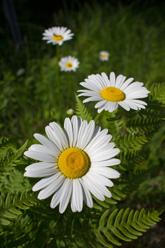 D-21-617 - Daisies. Huron County Nature Center.