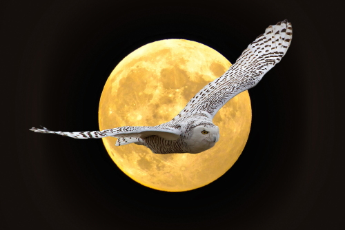 D-38-173 - Snow Owl