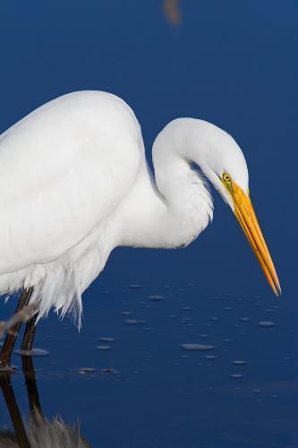 D-39-318 - Great Egret