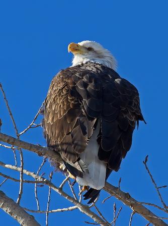 D-58-76 - Bald Eagle