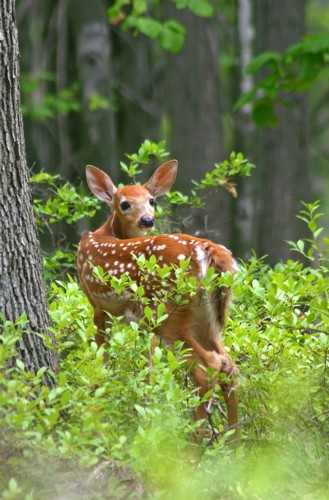 D-33-133 - A white-tail fawn standing in a patch of woods near Caseville, MI, on a mid-summer afternoon.