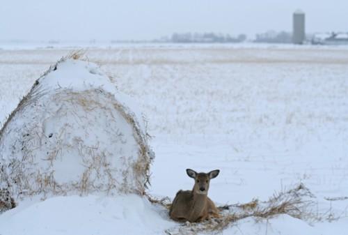 D-33-148 - White-tail Deer. Caseville, MI.