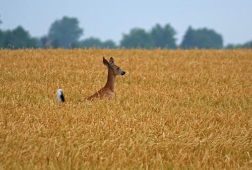 D-33-157 - White-tail Deer. Pinnebog, MI.