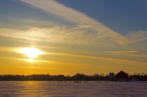 D-33-193 - White-tail Deer in a Snow-covered Field at Sunset. Port Hope, MI.