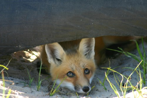 Fox_D-41-10 Baby red fox peeking out from under the drain pipe it was living in on Sand Point, MI, on a late spring afternoon.