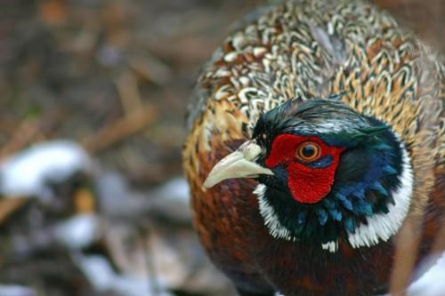 D-61-14 - Rooster pheasant. Caseville, MI.