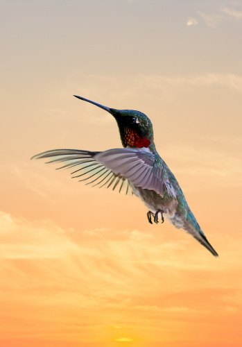 D-35-1020 - Male Ruby-throated Hummingbird, at sunset. Caseville, MI. Digitally enhanced.