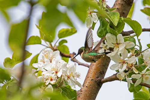 D-35-1153 - Female Ruby-throated Hummingbird. Caseville, MI.