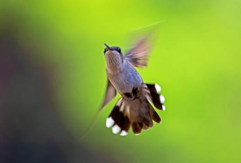 D-35-1227 - Juvenile Male Ruby-throated Hummingbird. Caseville, MI.