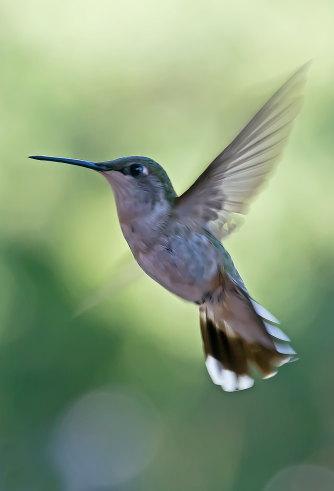 D-35-522 - Female Ruby-throated Hummingbird. Caseville, MI.