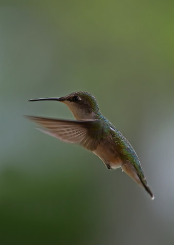 D-35-539 - Female Ruby-throated Hummingbird. Caseville, MI.