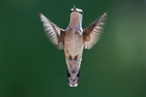 D-35-665 - Female Ruby-throated Hummingbird. Caseville, MI.
