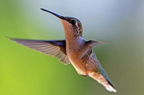 D-35-767 - Juvenile Ruby-throated Hummingbird. Caseville, MI.
