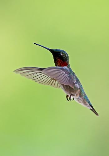 D-35-810 - Male Ruby-throated Hummingbird. Caseville, MI.
