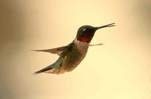 D-35-924 - Male Ruby-throated Hummingbird. Digitally enhanced. Caseville, MI.