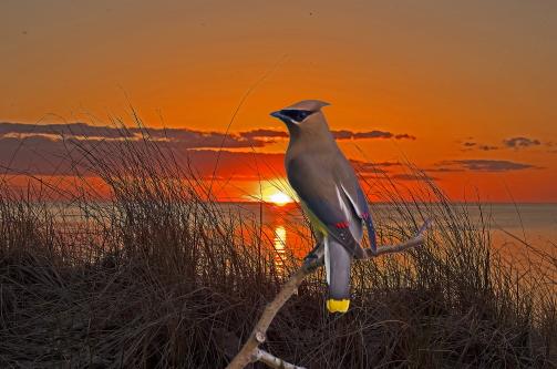 D-35-1005 - Cedar Waxwing at sunset. Grindstone City, MI. Digitally enhanced.