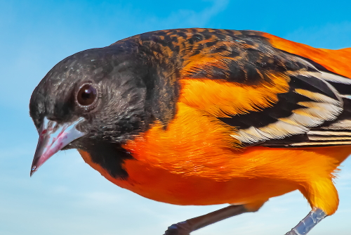 D-35-1283 - Male Baltimore or Northern Oriole. Caseville, MI.