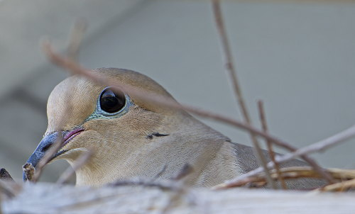 D-35-468 - Mourning Dove