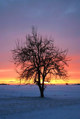D-30-38 - Lone Tree at Sunset. Pinnebog, MI.