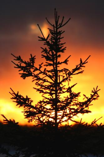 D-30-68 - Pine Tree at Sunset. Caseville, MI.