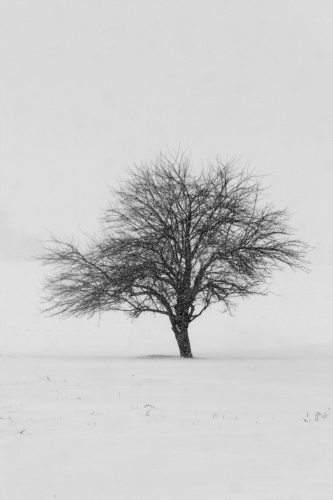 D-30-97 - Lone Tree in a Wintry Snowfall. Pinnebog, MI.