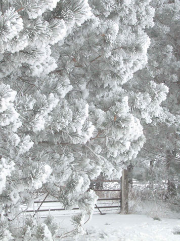 D-FG-7 - Pine Tree Covered with Hoar Frost. Bad Axe, MI.