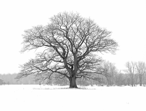 D-27-137 - Lone Tree in a Snow-covered Field. B&W. Bad Axe, MI.