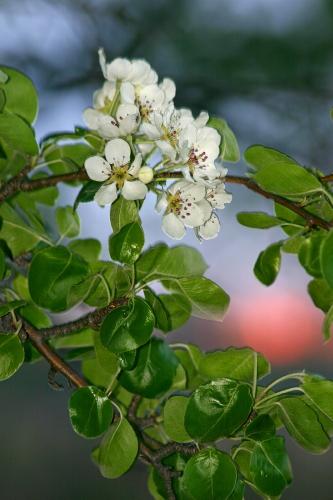 D-27-52 - Pear Blossoms at Sunrise. Caseville, MI.