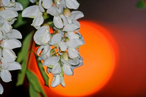 D-28-29 - Pear Blossoms at Sunrise. Caseville, MI.