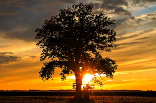 D-28-52 - Lone Tree at Sunset. Caseville, MI.