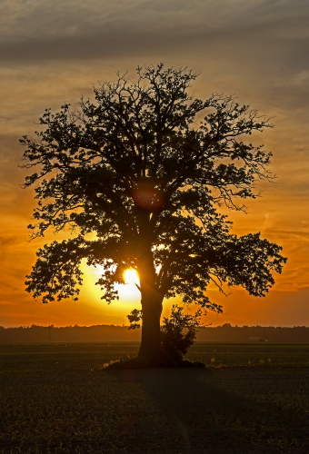 D-28-58 - Lone Tree at Sunset. Caseville, MI.