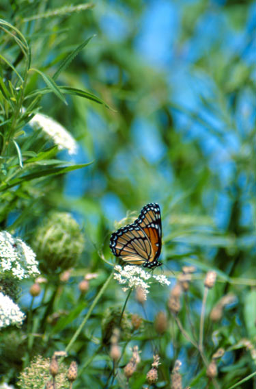 48-1-20 - Viceroy Butterfly on Queen Anne's Lace. Mud Creek Public Access. Bay Port, MI.