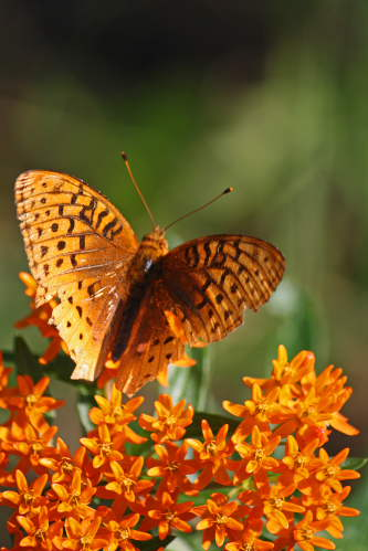 D-48-100 - Great Spangled Fritillary Butterfly. Port Crescent State Park Day Use Area. Port Austin, MI.