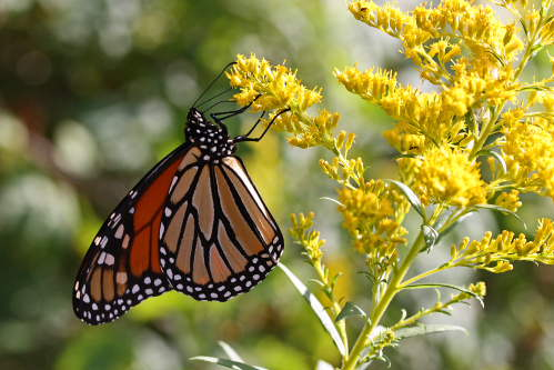 D-48-121 - Monarch Butterfly on Goldenrod. Port Hope, MI.