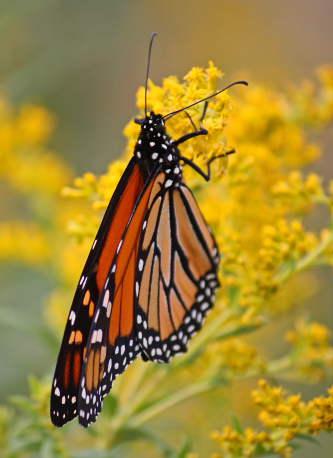 D-48-125 - Monarch Butterfly