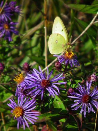 D-48-126 - Clouded Sulphur Butterfly.
