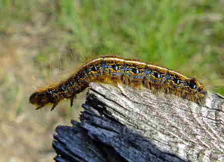 D-48-137 - Eastern Tent Caterpillar. Port Crescent State Park Day Use Area. Port Austin, MI.