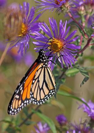 D-48-147 - Monarch Butterfly