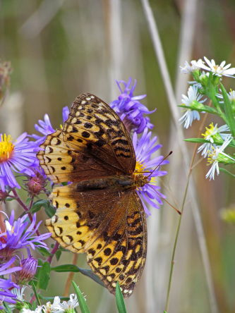 D-48-149 - Great Spangled Fritillary Butterfly