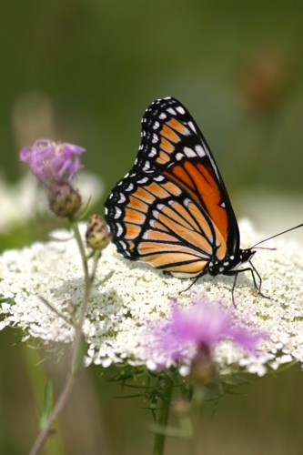 D-48-15 - Viceroy Butterfly on Queen Anne's Lace. Mud Creek Public Access. Bay Port, MI.