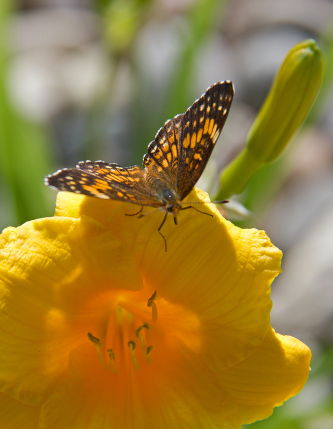 D-48-179 - Silvery Checkerspot Butterfly