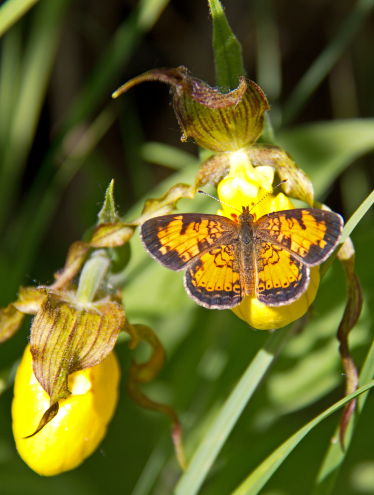 D-48-194 - Northern Crescent Butterfly on a Yellow Lady's Slipper. Huron County Nature Center. Oak Beach, MI.