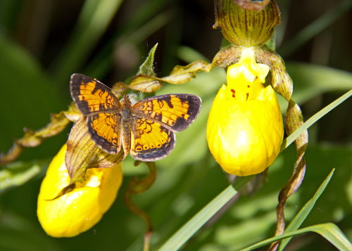 D-48-196 - Northern Crescent Butterfly
