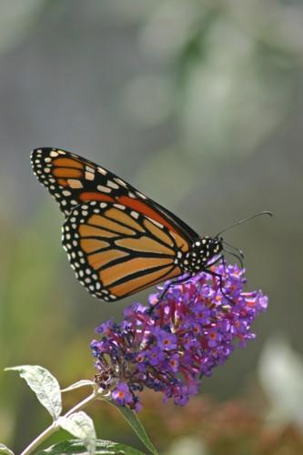 D-48-20 -Monarch Butterfly-48-125 -Monarch Butterfly