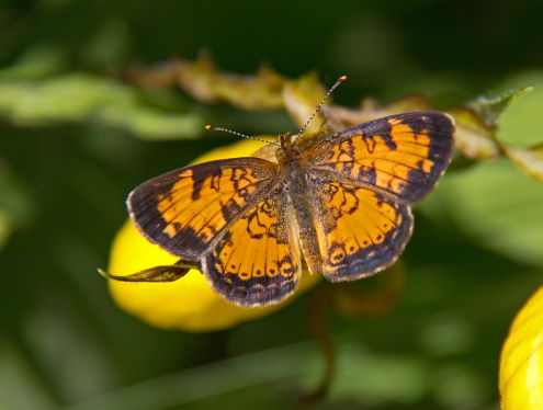D-48-204 - Northern Crescent Butterfly.