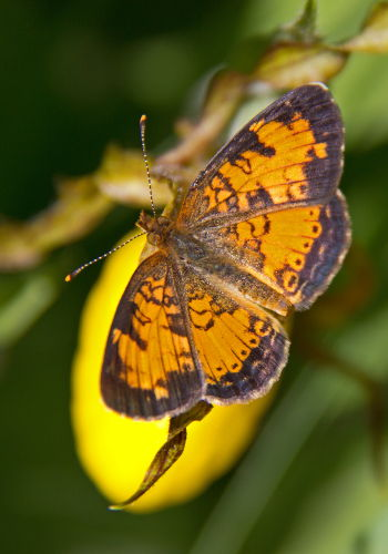 D-48-206 - Northern Crescent Butterfly