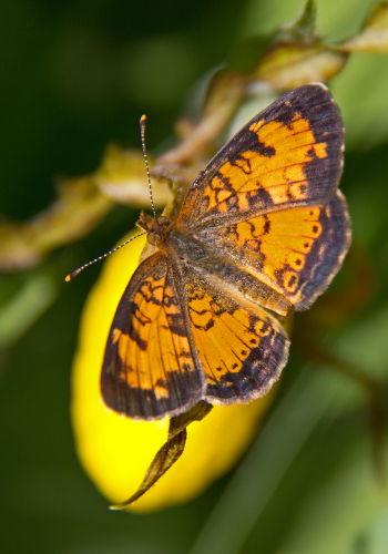 D-48-206 - Northern Crescent Butterfly. Huron County Nature Center. Oak Beach, MI.