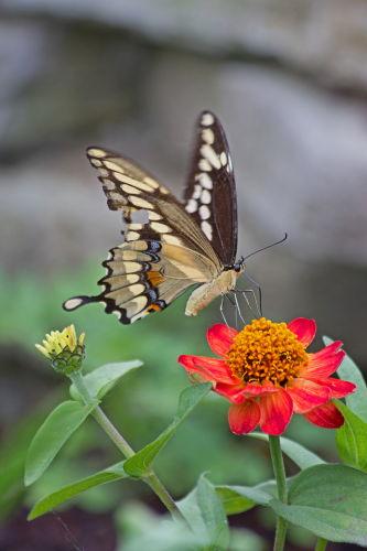 D-48-217 - Giant Swallowtail Butterfly. Port Austin, MI.