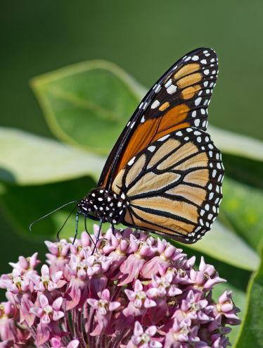 D-48-222 - Monarch Butterfly. Caseville, MI.