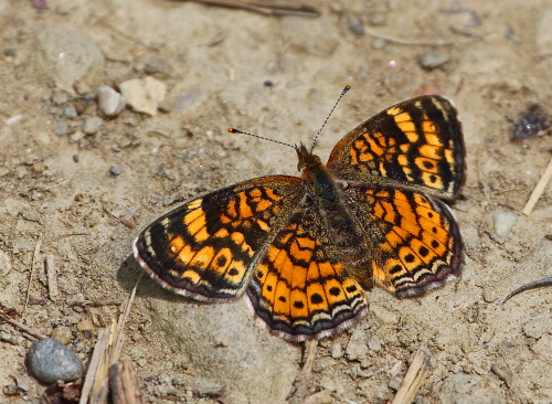 D-48-238 - Pearl Crescent Butterfly.
